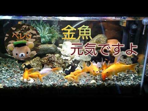 【アクアリウム】金魚、和金、琉金、出目金