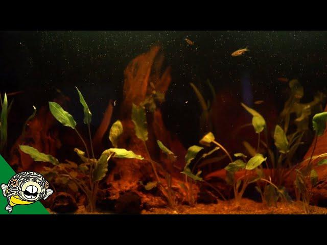 Blackwater Aquarium Setup for Bettas