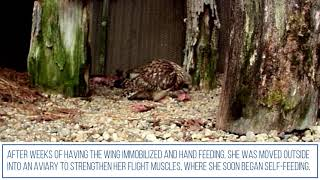 Wildlife Release: Short-Eared Owl
