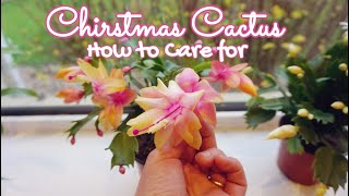Christmas Cactus Care Indoors. All you need to know to succeed with this succulent plant!