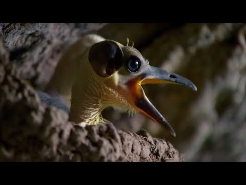 The Picathartes: Ancient Birds of the Congo