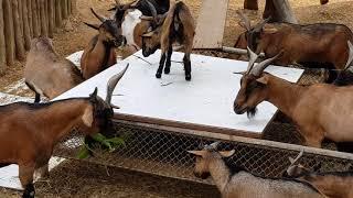 Няшные козлята едят