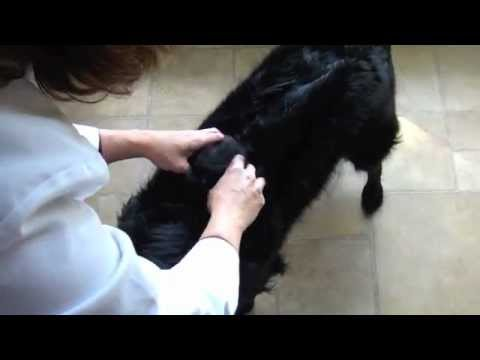 The Skin Roll a Tui-na Technique Care Animal Clinic - YouTube