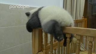 Panda's brave cradle escape