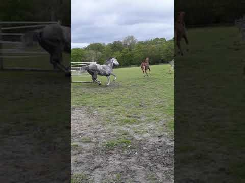 poulain BWP (Hickstead White Russel ll Nonstop)
