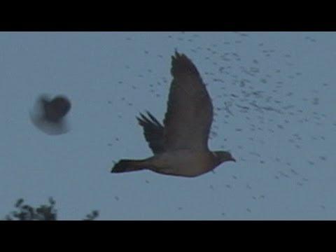 Slo mo shotgun impact – Pigeons