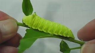 Asi Se Oye La Oruga Gritona De Los Simpson (What A Screaming Caterpillar Sounds Like)