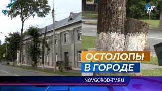 Очередная волна стрижек прокатилась по деревьям в Великом Новгороде