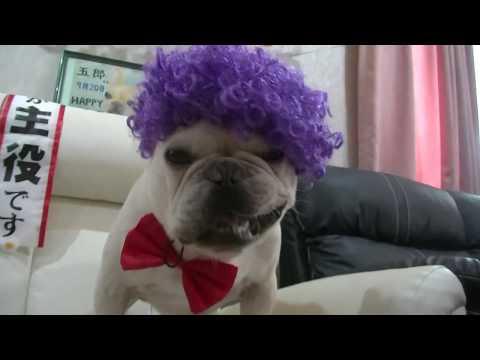 フレンチブルドッグ五郎!3歳の誕生日。French Bulldog Goro! 3rd birthday