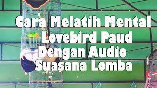Cara Melatih Mental Lovebird  Paud Dengan Audio Suasana Lomba