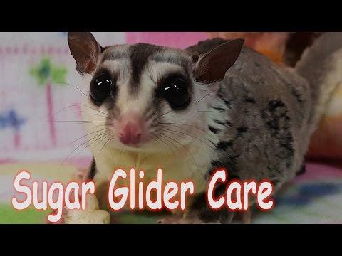 Sugar Glider Care - Requested