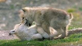 Babysitting Cute Wolf Pups | Snow Wolf Family And Me | BBC