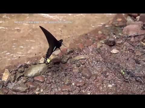 マネシタイマイの飛翔 Mimoides xynias