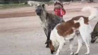 preview picture of video 'Hyena and Dogs in Harar.wmv'