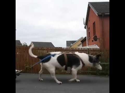 Mies ja valtava koira!