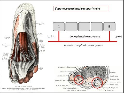 Le muscle lopatotchno-sublingual linnervation