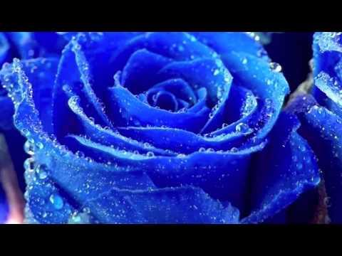 ", title : '""Le Rose Blu ""    -  ( Roberto  Vecchioni )'"