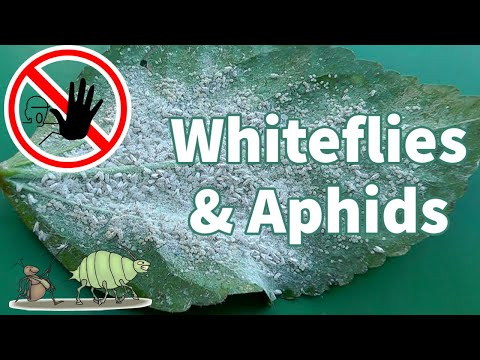 , title : 'Organic White Fly Control : How to get rid of Whiteflies