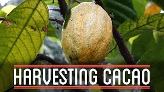 Harvesting Cacao | How to Make Everything: Chocolate Bar
