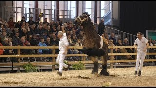 Belgian Draft Horses-national Exhibition-an Accident Is In A Small Corner