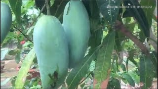 How To Grow Mango Bonsai Tree In Pot - Complete Growing Guide