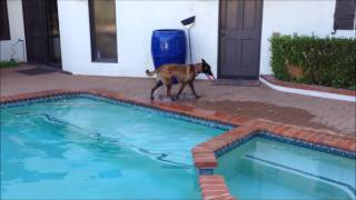 Sara - Belgian Malinois (for adoption) learns to swim