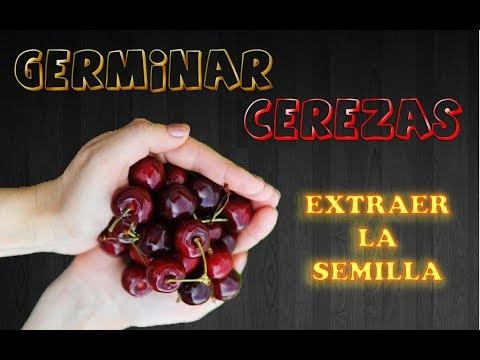 Germinar Cerezas  || Extraer la semilla || Cultivo paso a paso