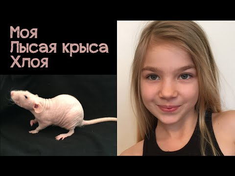 Крыса сфинкс - мой домашний любимец.