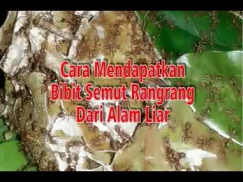 Video CARA BUDIDAYA SEMUT RANGRANG - KROTO JOGJA
