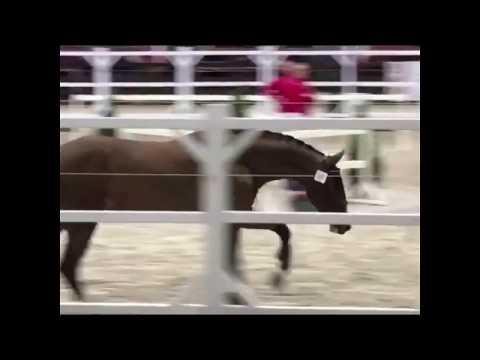 Prestige vh Kluizebos Stallion Selection 2nd fase Azelhof
