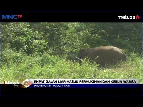 Tim Gabungan Berupaya Giring 4 Gajah Liar di Riau Menuju Taman Nasional Tesso Nilo - LIP 15/06