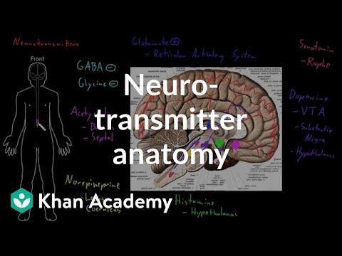 Neurotransmitter anatomy (video) | Behavior | Khan Academy