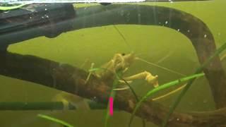 Рак в аквариуме. Калифорнийский белый. Грызёт растение.