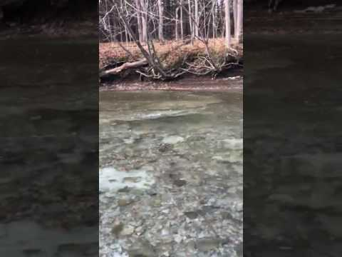 Steelhead Spawning