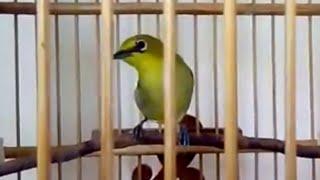 Kicau Burung Kacamata Cantik (71)