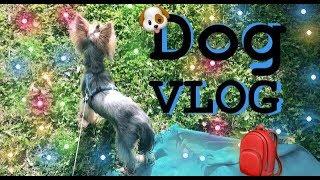 DOG VLOG:прогулка , мою собаку. Йорк Джастин.