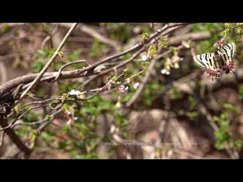 ヒメギフチョウ(チョウジザクラで吸蜜)Luehdorfiapuziloii on SakuraFlower