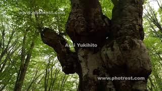 和賀のブナの動画素材, 4K写真素材