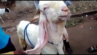 gulabi goat price in india - मुफ्त ऑनलाइन