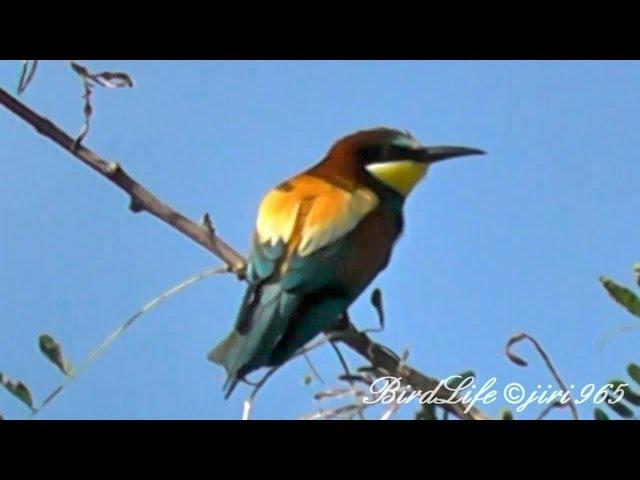Vlha-pestrá-merops-apiaster-bee-eater-bienenfresser