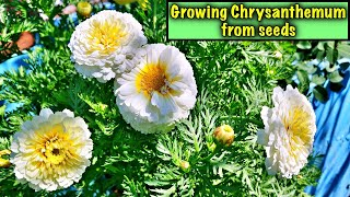 How To Grow Chrysanthemum From Seeds Step By Step | Easy Way To Germinate Chrysanthemum - In English