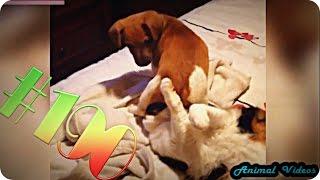 Приколы с животными №190   Собака села на кота  Смешные животные  Animal videos