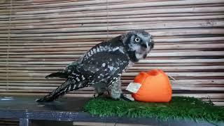 Ты - не ты, когда голоден! Сова хочет ушатать и съесть оранжевый шар