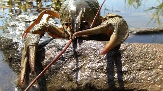 Ловля раков на раколовки летом(Дневник рыболова)