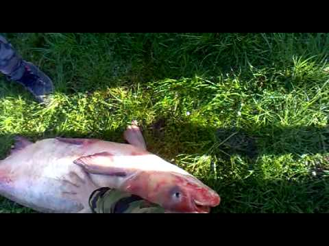 La pesca vobla aprile di video