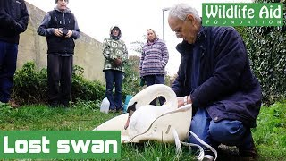 Lost swan reunited with family