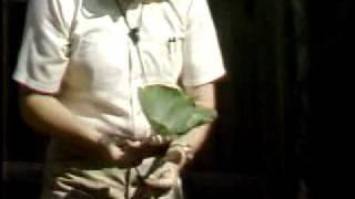 Pollinating squash by hand, squash bugs.