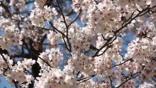 Cherry Blossoms 2011 - A little subdued