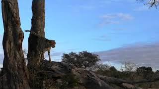 Cheetah male sent marking his territory.