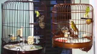 Grey Finch  Vs Green Singer ~ 灰燕与石燕(蓝头燕)斗唱~~☆●○•°☆